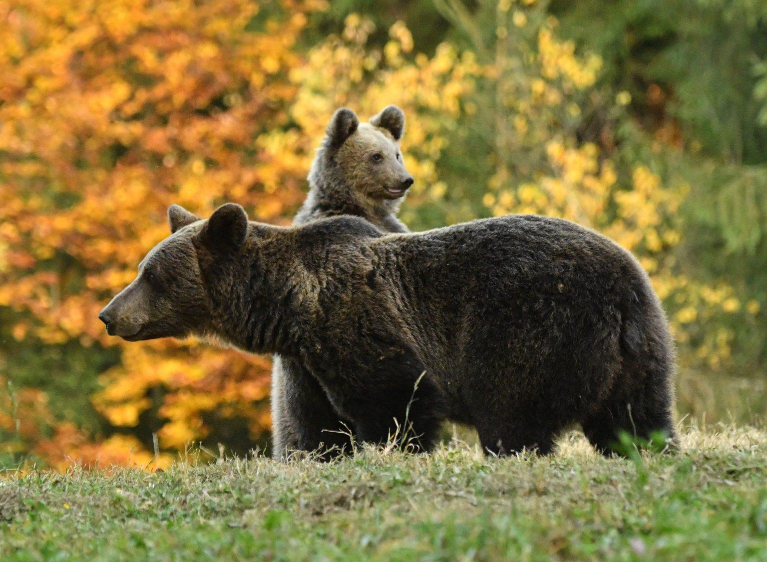 Ministrul Mediului a aprobat impuscarea a 5 ursi din Arges, Mures si Suceava