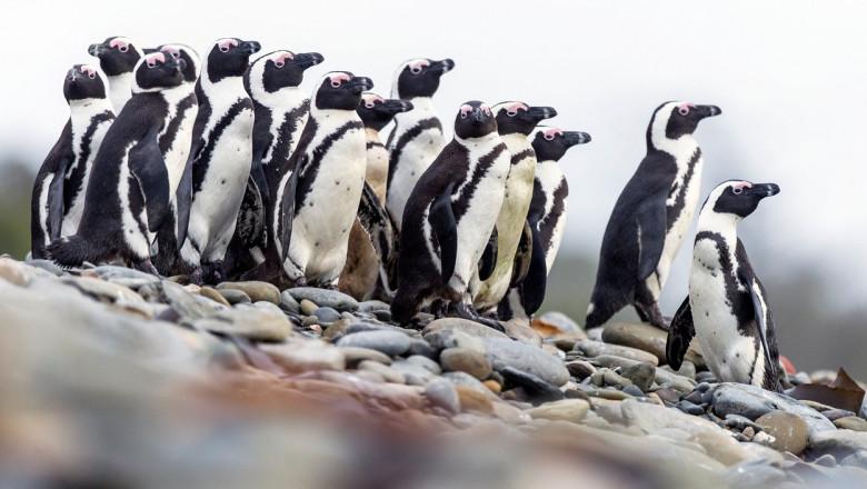 un grup de pinguini