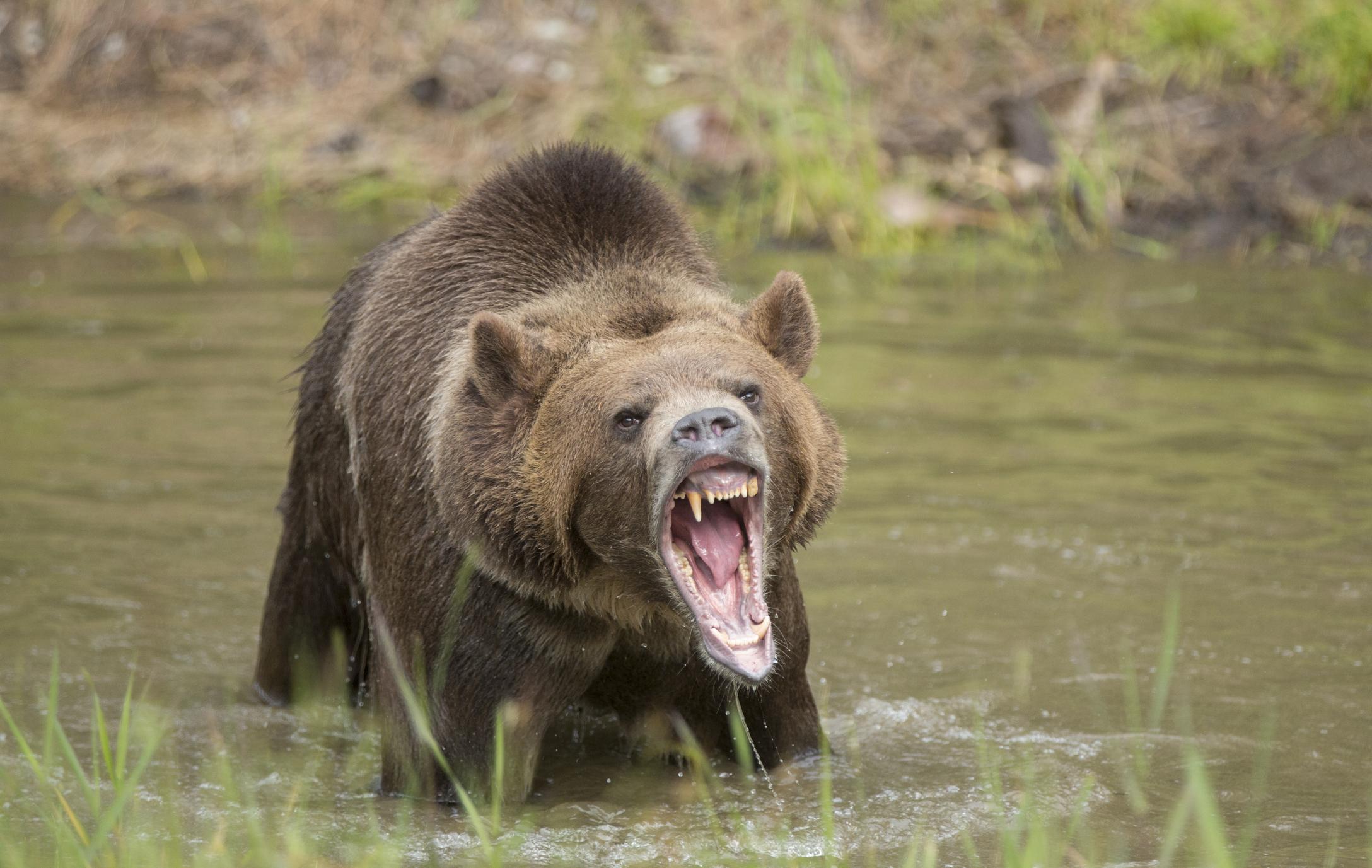 Cazul unic al unui grizzly ucis de o capra. O expertiza criminalistica a aratat cum s-a desfasurat lupta