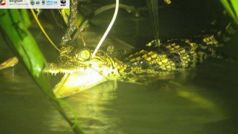 pui de crocodil in mlastina