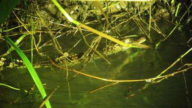 Puii de crocodil fac parte dintr-o specie pe cale de dispariție.