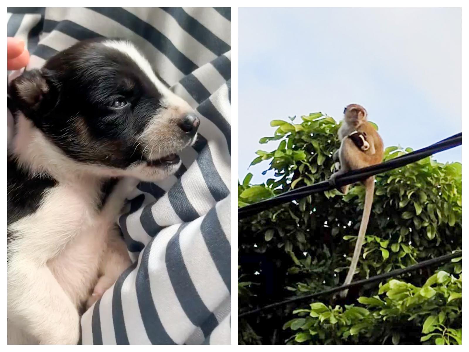 Operatiune pentru salvarea unui catelus rapit si tinut ostatic timp de 3 zile de o maimuta