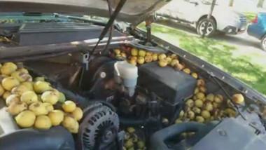 Nuci adunate de o veveriță la motorul unei mașini.