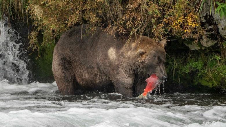Katmai National Park Fat Bear Contest
