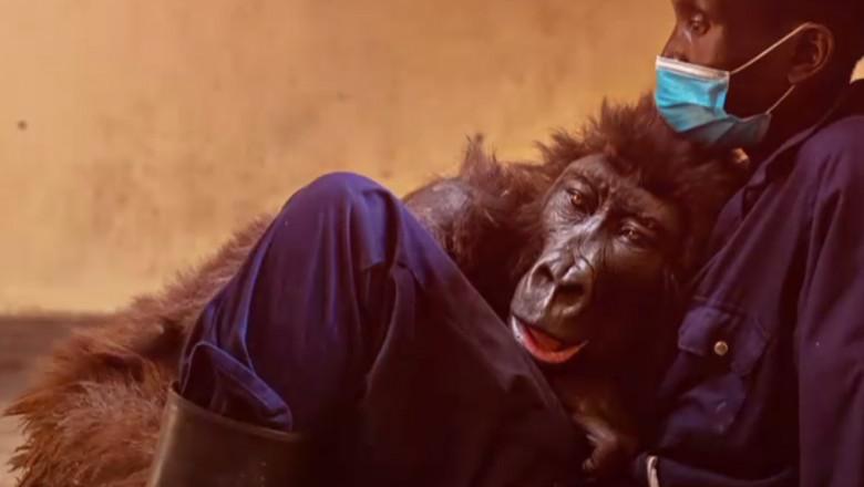 Gorilă în brațele îngrijitorului.