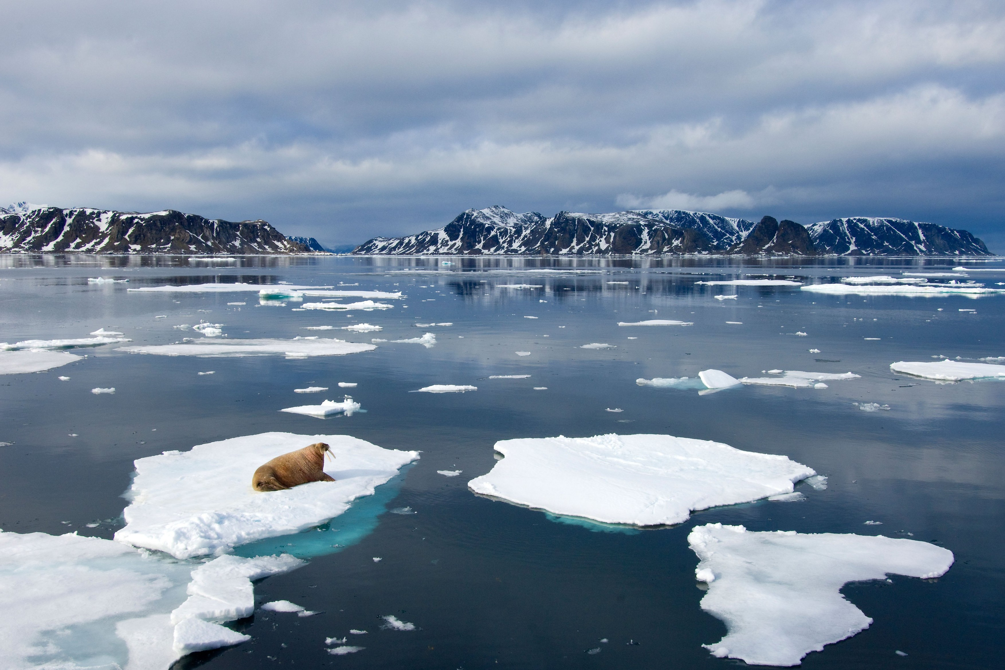 Jumatate de milion de oameni sunt cautati pentru a numara, de acasa, morsele din cercul polar arctic