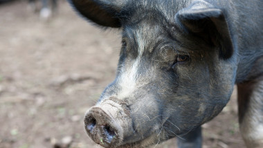 Close up of pig on a farm