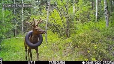 Unui elan din statul american Colorado i-a fost îndepărtată o anvelopă pe care o avea blocată la gât de cel puţin doi ani