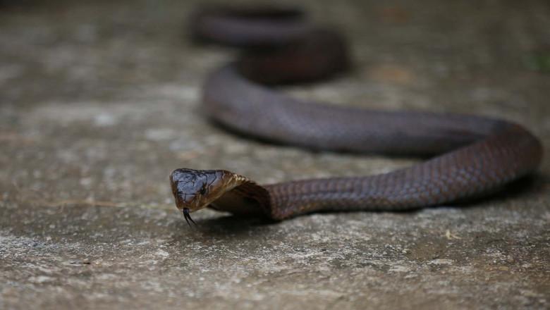 cobra snake