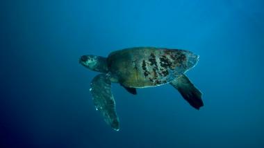 Broască țestoasă măslinie