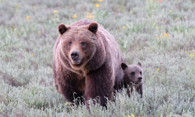 Grizzly bear makes an appearance with her cubs, Grand Teton National Park, WY, USA - 20 Jun 2020
