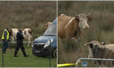 colaj vaci pe teren