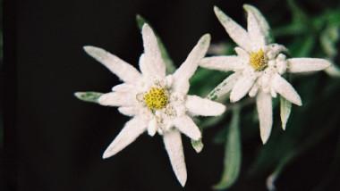 7 495 Floare-de-colt