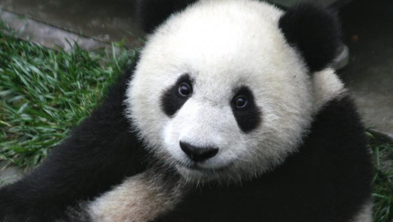 panda cub from wolong sichuan china