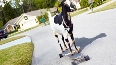 happie-farthest-distance-skateboarding-by-a-goat -2739