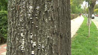 ciuperca de copaci