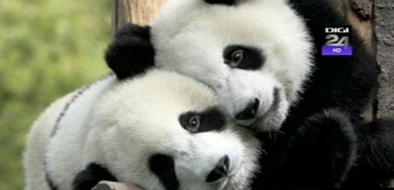 investeşti în china primeşti un panda ursuleţii monedă de schimb