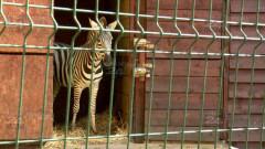 Zoo - evadarea zebrei