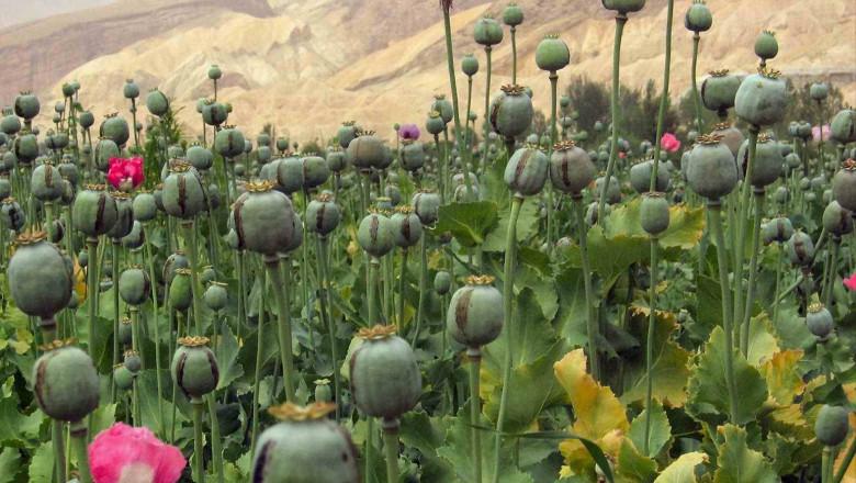 opiu afganistan wikipedia-1