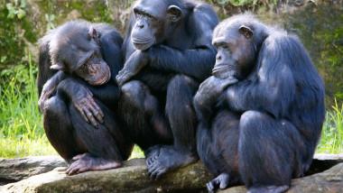 Maimute Cimpanzeu -AFP Mediafax Foto-Rob ELLIOTT