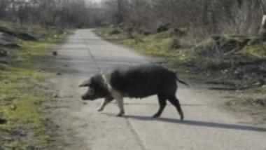 porc-3