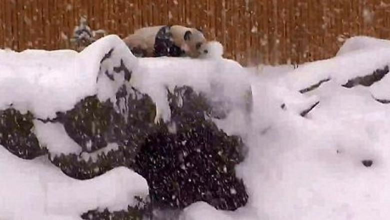 panda mao