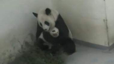 panda cu pui