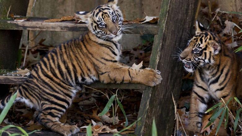 sumatran-tiger-cubs