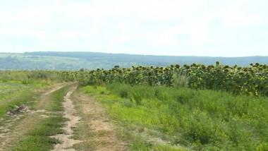 teren floarea soarelui agricultura