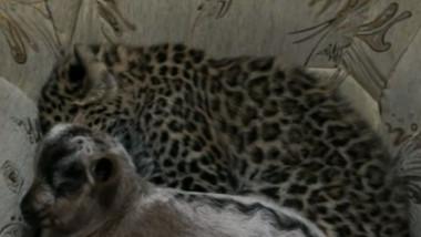 leopardoed