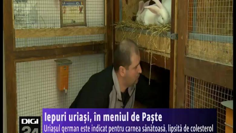 BETA iepuri uriasi