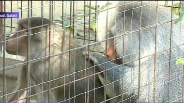 babuinii de galati 1