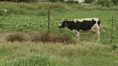 vaca camp