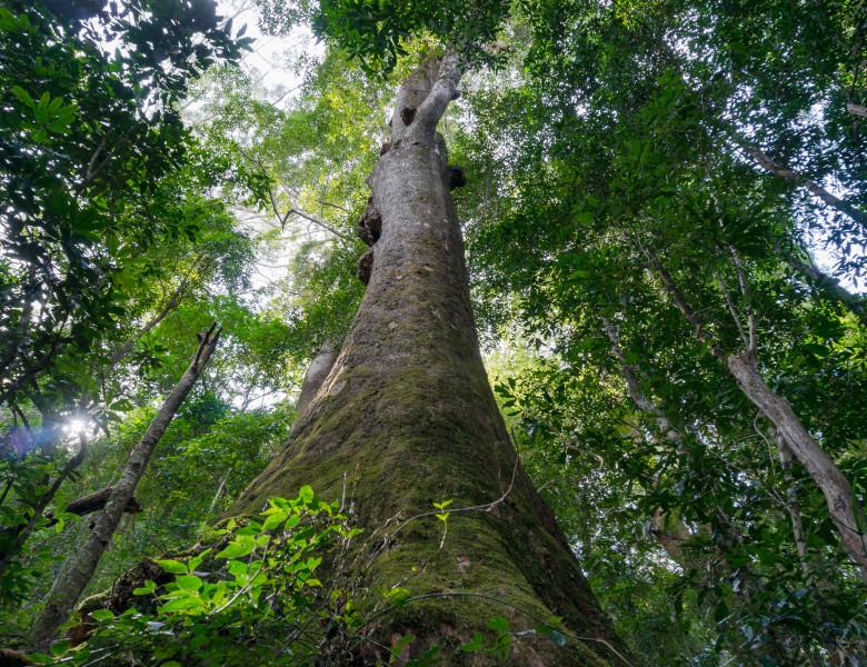 copac pom padure tropicala