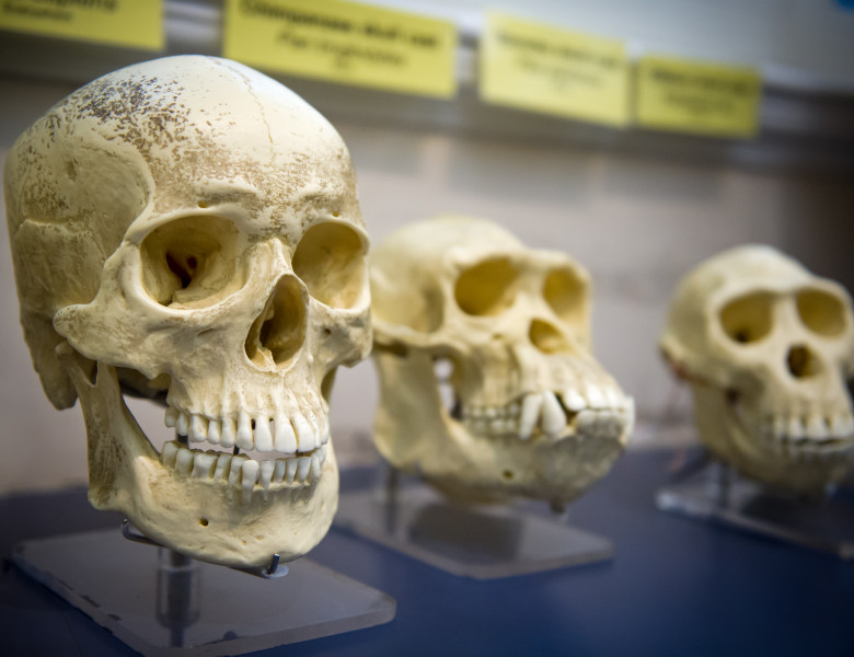 evolutie umana cranii