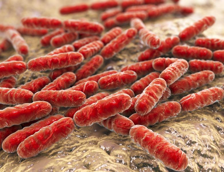 Bacteria lactica