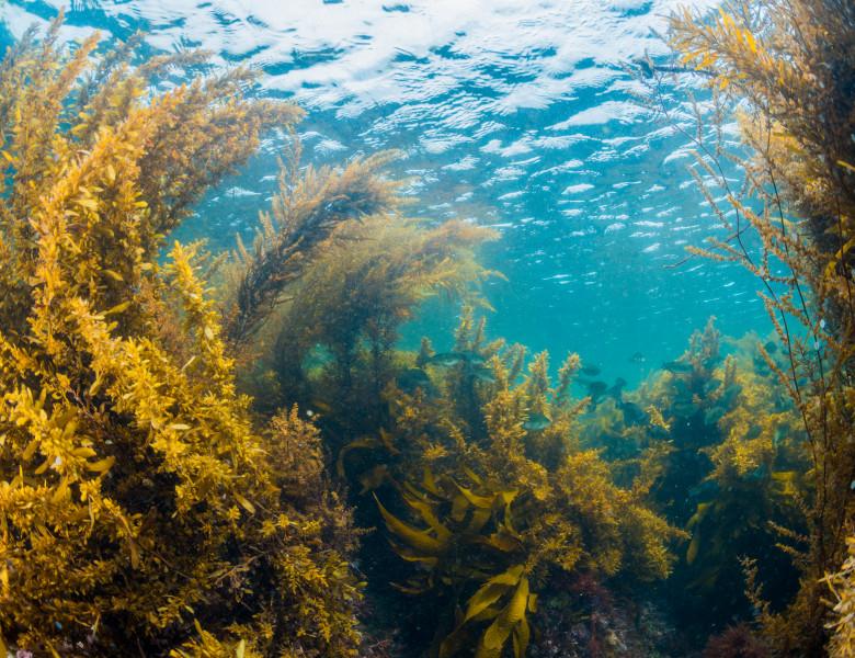 Varec alge in ocean