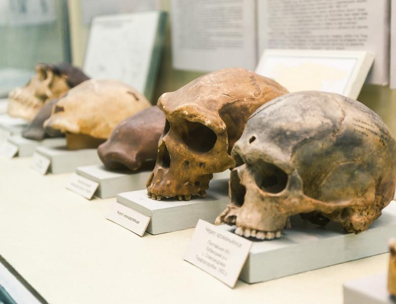 evolutie om cranii
