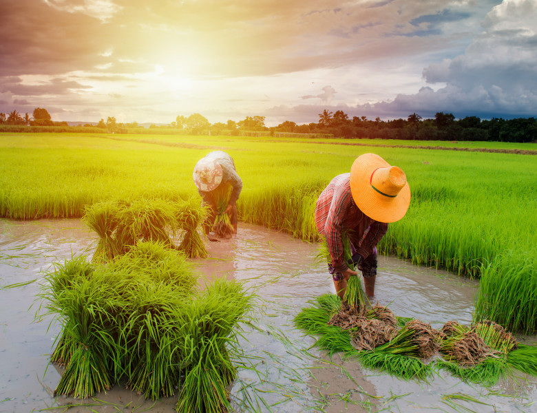 farmer planting rice in farm, Thai traditional plantation