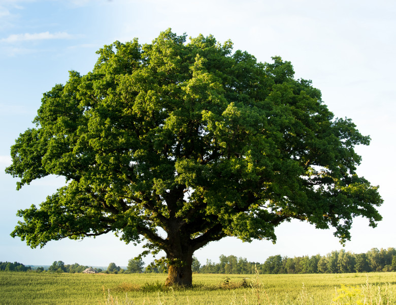 copac mare