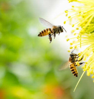 Flying,Honey,Bee,Collecting,Pollen,At,Yellow,Flower.,Bee,Flying