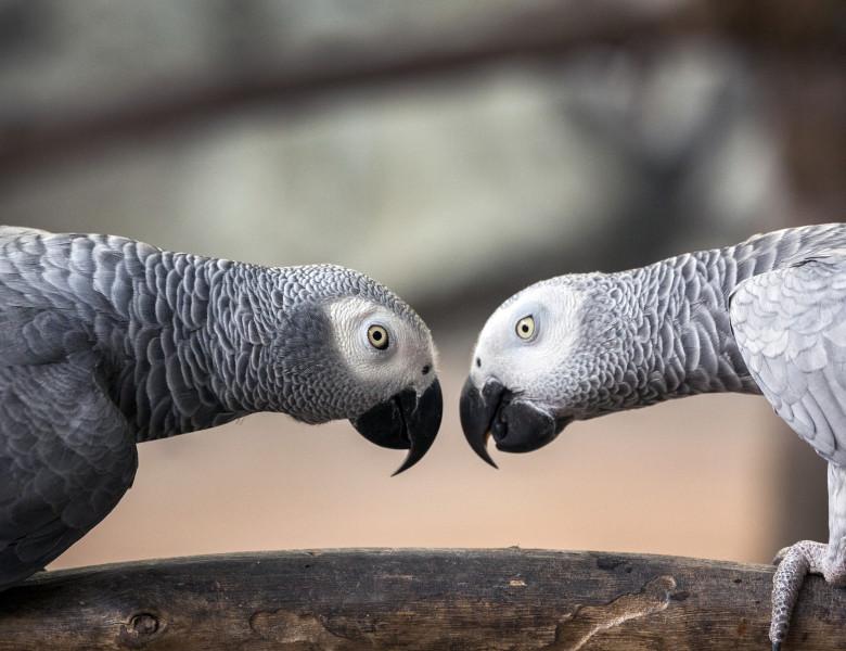 Papagal gri african