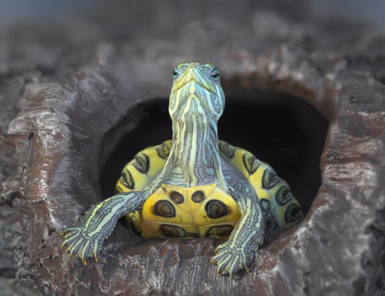 țestoasele pot pierde în greutate)