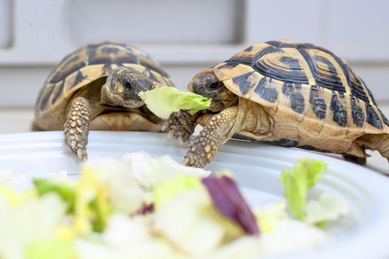 cum și-a pierdut țestoasa toată greutatea