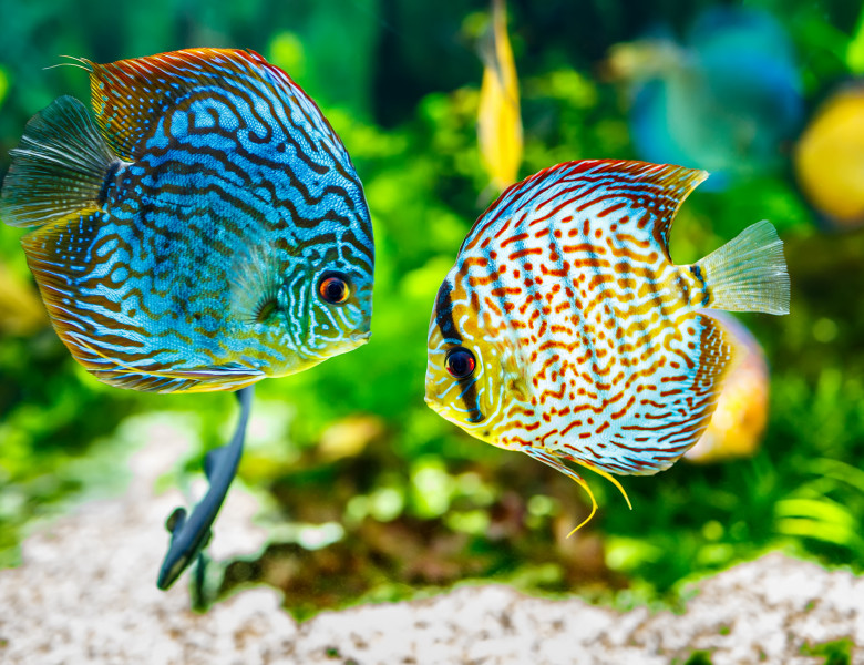 pesti acvariu 2