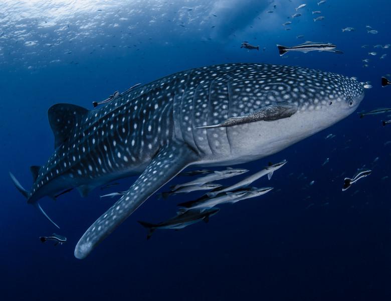 Rechin-balena