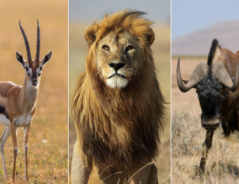 Gazela lui Thomson, leu, antilopa gnu