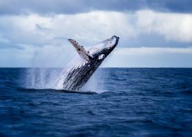 balena sarind din apa