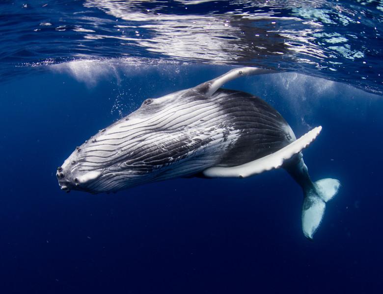 balena albastra in ocean cu burta spre camera