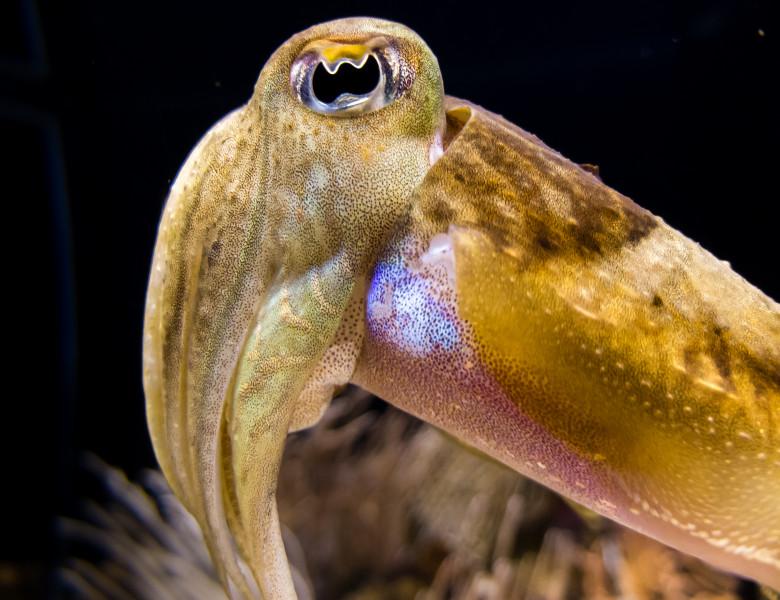 Caracatita calamar